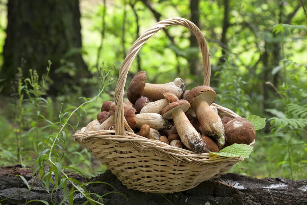 mushroom foraging basket the crown